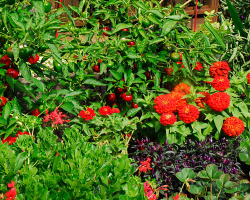 Peppers and Zinnias