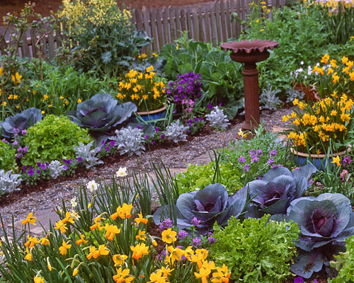 Purple Cabbage and Daffodils